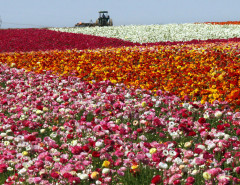 carlsbad_flower_fields